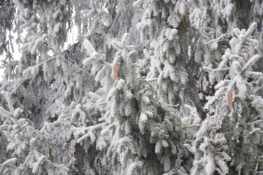 Hard rime on a spruce by vertiser