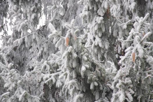 Hard rime on a spruce