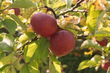 Autumn Apples by vertiser