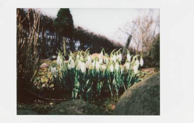 Snowdrops by vertiser