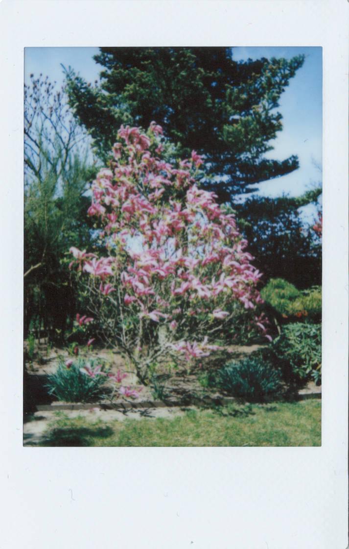 Magnolia by vertiser