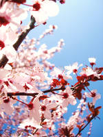 cherry blossoms 2 by camillesheehan