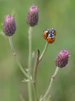 Ladybugs trio by orestART