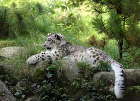 Snow Leopard by orestART