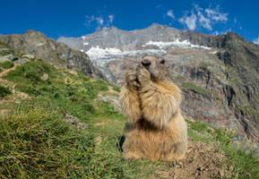 Hungry marmot