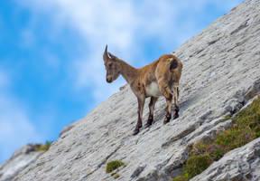Ibex climbing the rocks by orestART