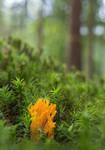 Yellow Stagshorn (Calocera viscosa)