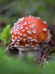 Little amanita mushroom