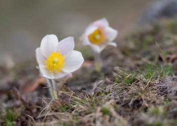 Alpine pasque flowers