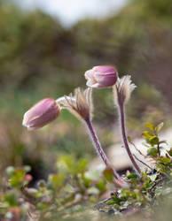 Alpine pasque flowers II