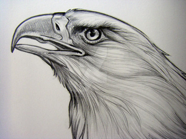 Bald Eagle Pencil Detail 2 by HouseofChabrier on DeviantArt