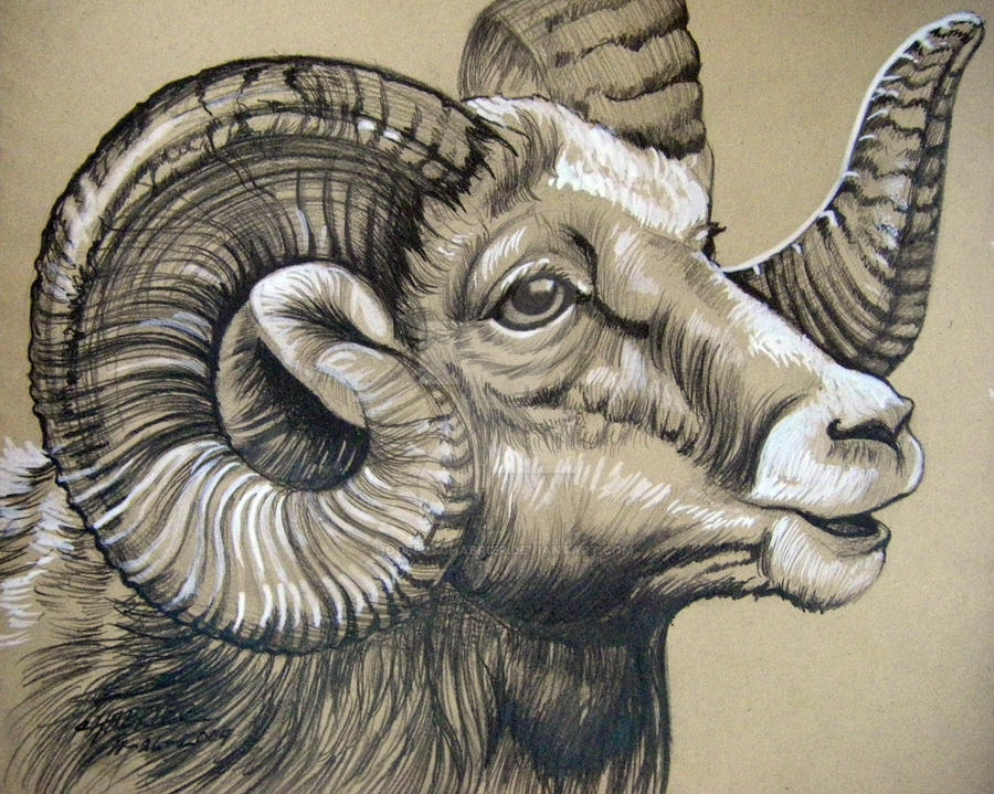 This is a picture of Playful Bighorn Sheep Drawing