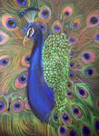 Peacock Prismacolor 2