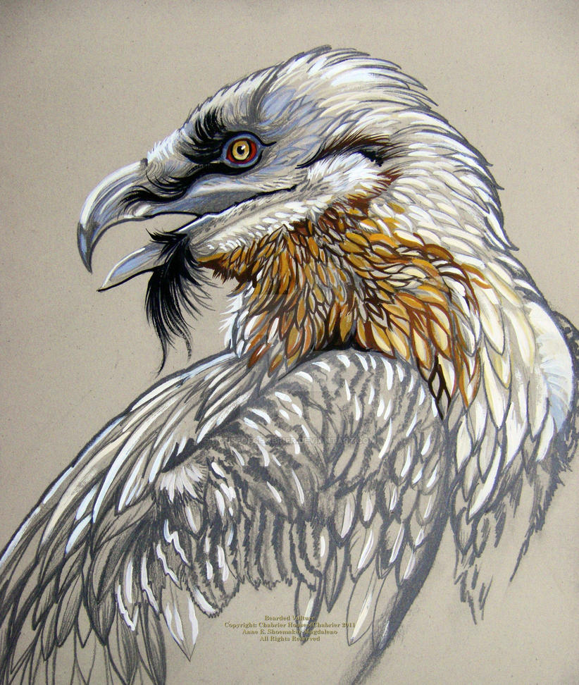 Bearded Vulture by HouseofChabrier on DeviantArt