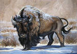 American Bison Winter