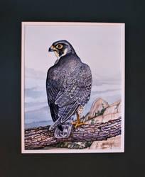 Peregrine Falcon The Dells