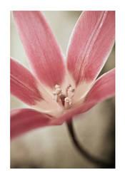 tulip by Wundenkuessen