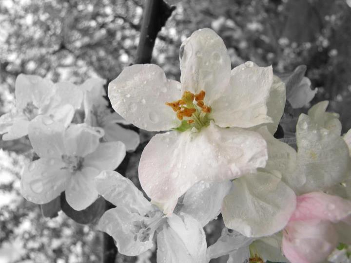 Love blossom by laurasir