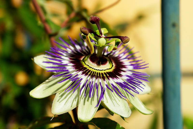 passion flower by gd08
