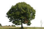 tree 9 png