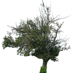 tree 11 png