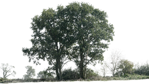 tree 12 png