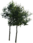 tree 13 png