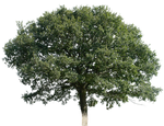tree 16 png