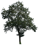 tree 15 a png