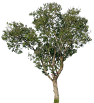 tree 17 png
