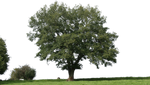 tree 19 png