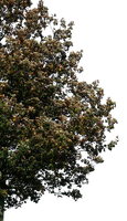 tree 31 png