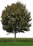 tree 33 png