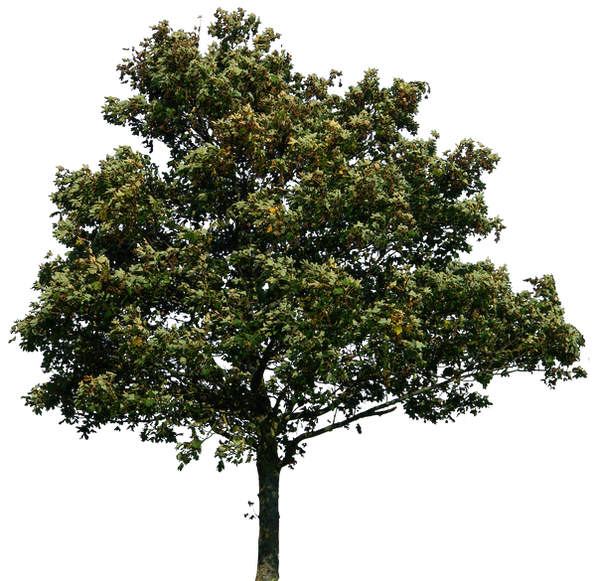 tree 34 png by gd08 on DeviantArt