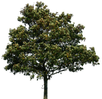 tree 34 png