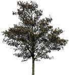 tree 36 png