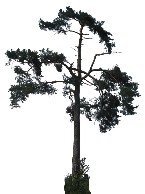 tree 37 png
