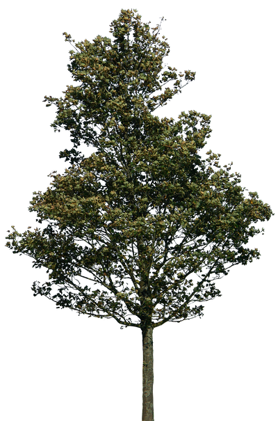 tree 38 png