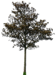 tree 43 png