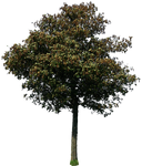 tree 44 png