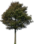 tree 45 png