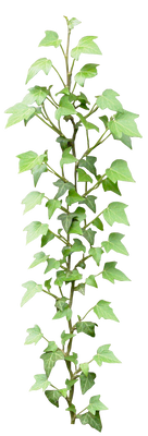 Ivy png