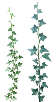 Ivy 03 png
