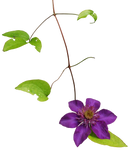 Clematis 02 png