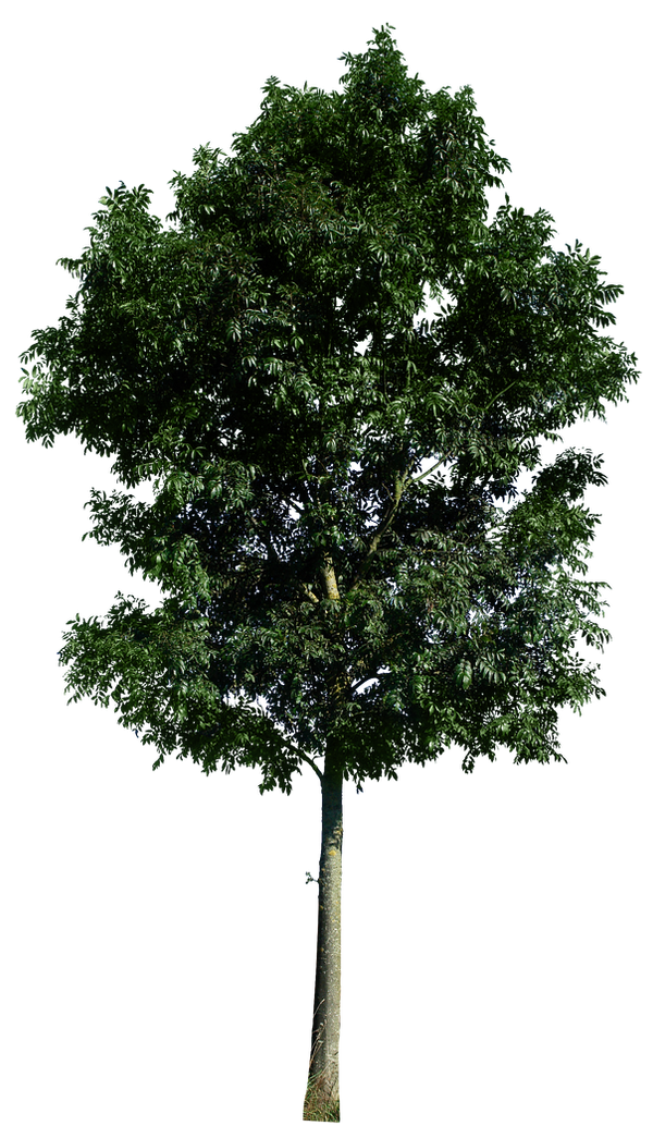 Tree 48 png