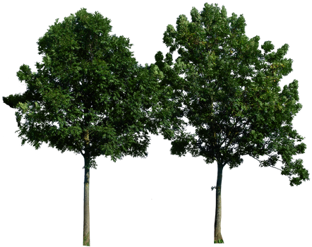 Tree 49 png