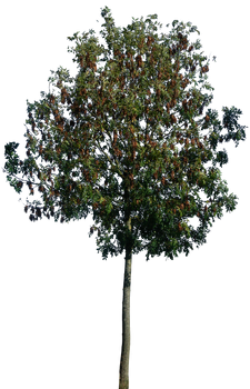 Tree 50 png