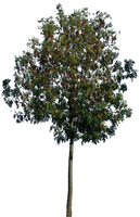 Tree 50 png by gd08