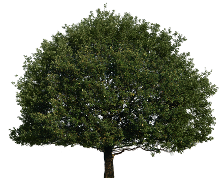 Tree 51 png