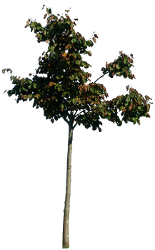 Little tree 01 png